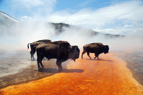 Bisons à Grand Prismatic Spring, Yellowstone (US)